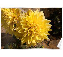 A large beautiful yellow Dahlia Poster