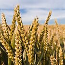 Wheat by JEZ22