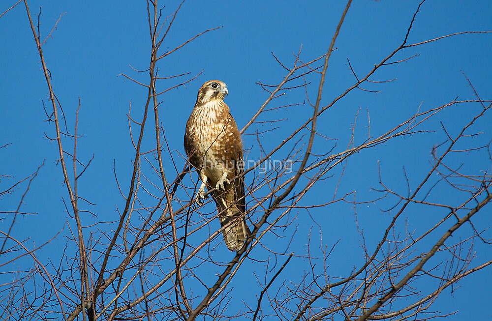 Australian Hobby by houenying
