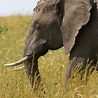 African Elephant by Keith Davey
