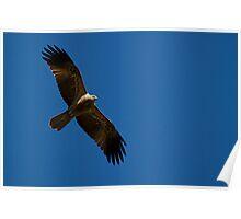 Whistling Kite (gb) Poster