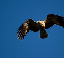 australia birds - Whistling Kite (nt) by houenying