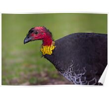 Australian Brush-turkey Poster
