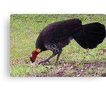 Australian Brush-turkey (jc) Canvas Print