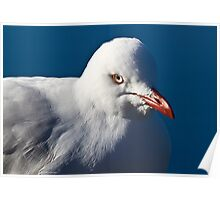 australia birds - Silver Gull Poster
