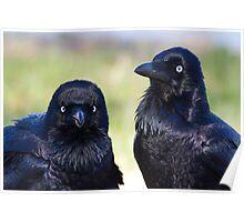 australia birds - Forest Raven Poster