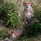 Cheetahs by Keith Davey
