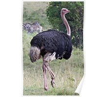 Male Ostrich Poster