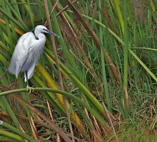 Little Egret by Keith Davey