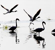 Lesser Flamingoes take flight by Keith Davey