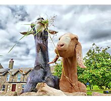 Two Nosy Goats.  Photographic Print
