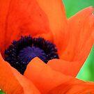 Poppy by Carrie Bonham