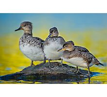 Meet the Mergansers Photographic Print