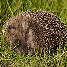 Sleeping Hedgehog by andysax