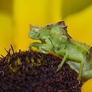 Jagged Ambush Bug. by Daniel Cadieux