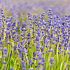 Lavender Closeup by Sue Knowles