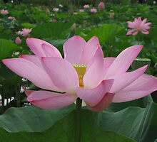 Pink Lotus by Kelly Morris