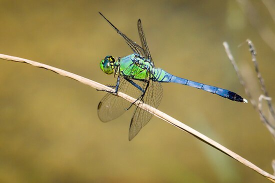Green dragonfly pictures - photo#6