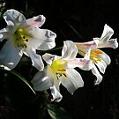 Regal Lilies by Pat Yager