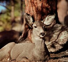 Mule Deer Doe by Eric Glaser