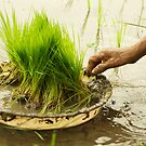 Planting Rice by Valerie Rosen