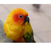 'Sun Conure' Parrot, Columbia. 'Bird World' Kuranda, Queensland.  Photographic Print