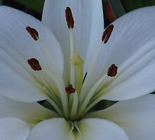 Pure Lily by Eileen Aquiningoc  Schwake