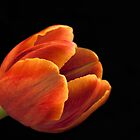 Colorful Tulip by Kim Andelkovic