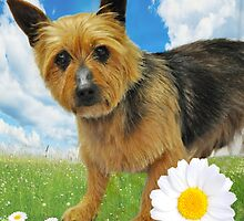 Australian Silky Terrier by JaninesWorld