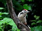 Great Spotted woodpecker on branch by Peter Wiggerman