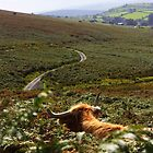 Dartmoor Cattle by jwgrayman
