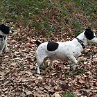 Jack Russell's In The Forest by Simon Harris