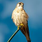 Nankeen Kestrel on the Watch by Chris  Randall
