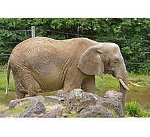 An African Elephant at Paignton Zoo, Devon Photographic Print