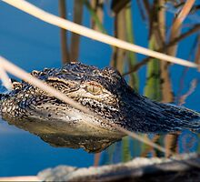 Young Gator Hanging out by the lakes edge by Photography by TJ Baccari