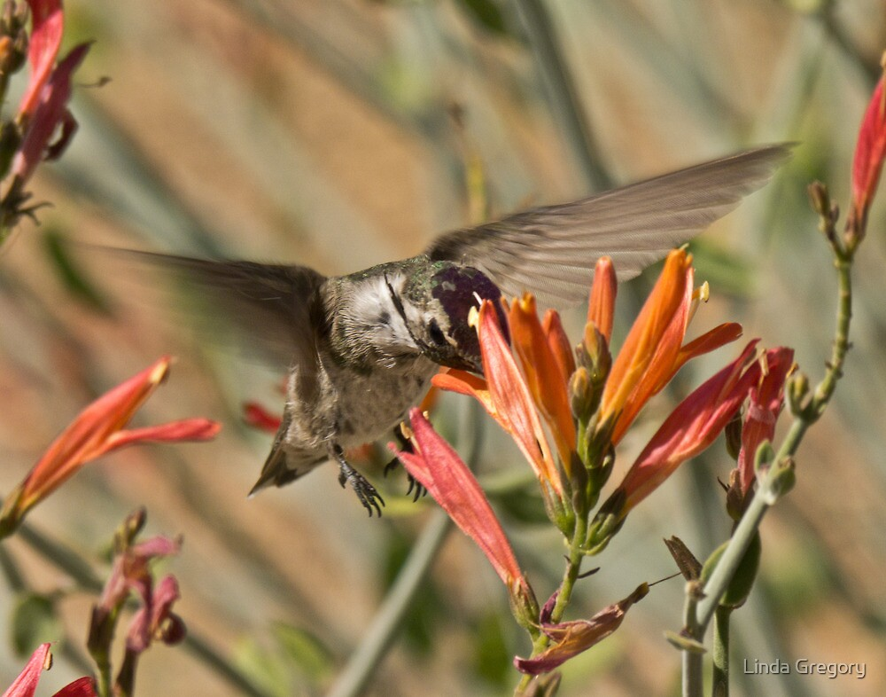 Male Costa's on Chuparosa by Linda Gregory