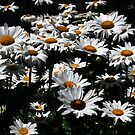 Daisy Days of Summer by Paul Gitto