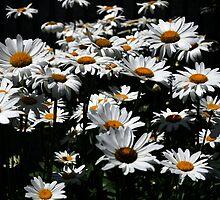 Daisy Days of Summer by Paul Gitto