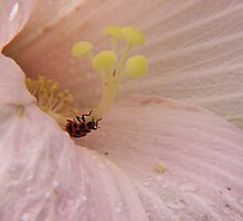 Bean Leaf beetle in Rose Mallow by Ron Russell