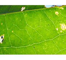 Leaf Veins Photographic Print
