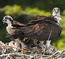 Osprey Family by Todd Weeks