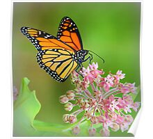 Butterfly on Mountain Laurel Poster