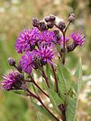 Tall Ironweed by Ron Russell