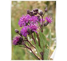 Tall Ironweed Poster