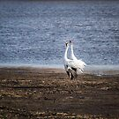 Territorial Call Of The Whooping Cranes 2015-2 by Thomas Young
