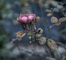 Faded Rose by sedge808