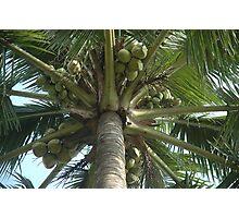 coconut tree Photographic Print