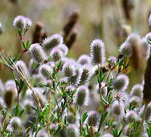 Bunny Tail Grass by Jean Poulton