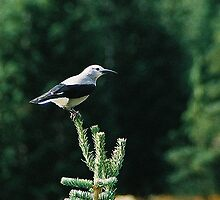 Clark's Nutcracker by Maria A. Barnowl