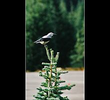 Clark's Nutcracker - - Posters & More by Maria A. Barnowl